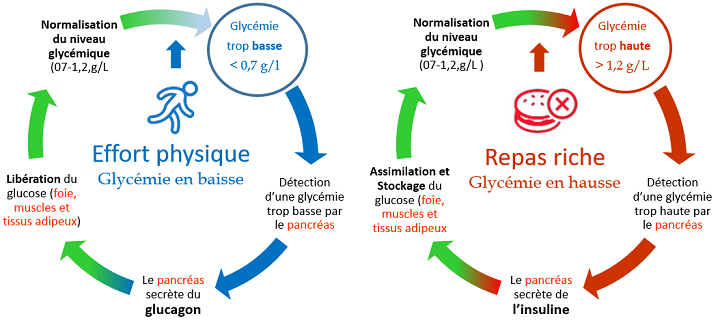 Cycle du glucagon et de l'insuline